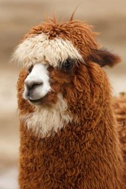brown head wool
