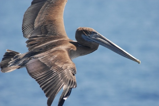 brown pelican bird sea