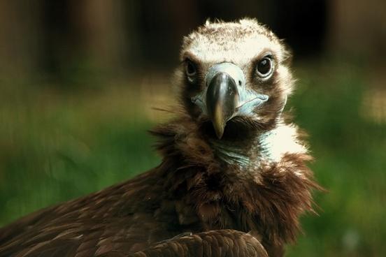 brown vulture