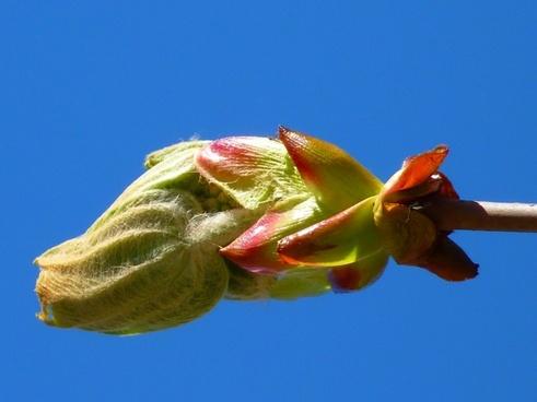 bud chestnut chestnut bud