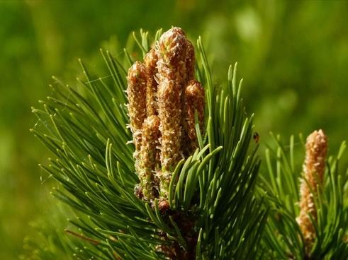 bud fir tree