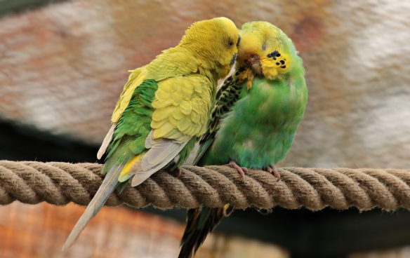 couple of cute colorful parrots