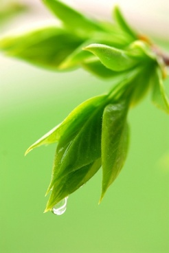 buds green leaves and dew closeup highdefinition picture