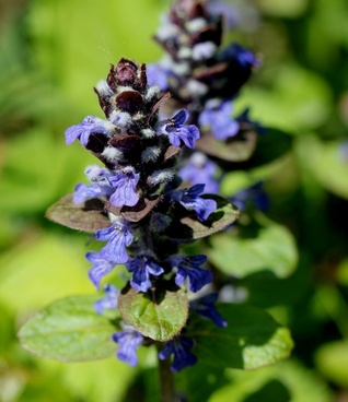 bugle blue blossom pointed flower