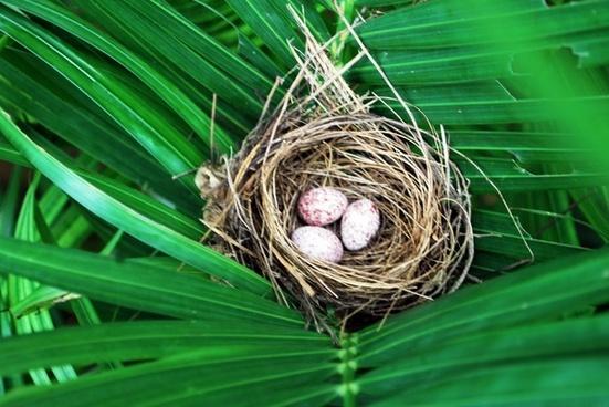 bulbul039s nest and eggs