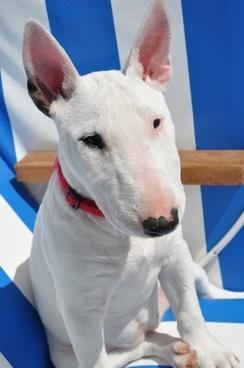 bull terrier dog animal