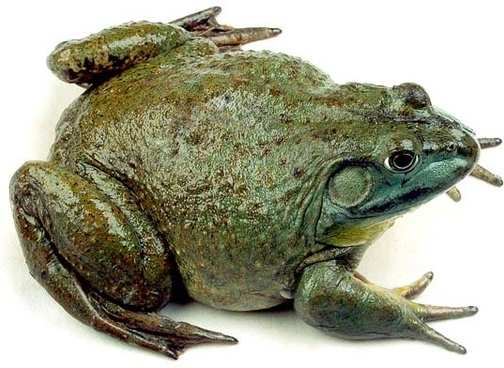 bullfrog highdefinition picture