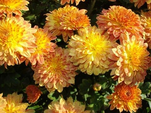 bunch chrysanthemum flowers