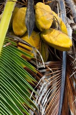 bunch coconut coconuts