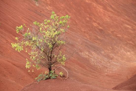 bush in red dirt