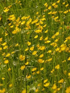 buttercup meadow pointed flower