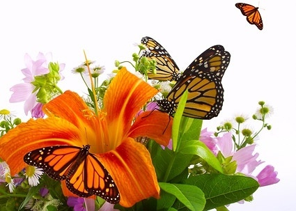 butterfly and lily picture