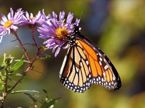 butterfly butterflies monarch