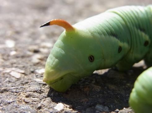 butterfly caterpillar winch hawk-moth