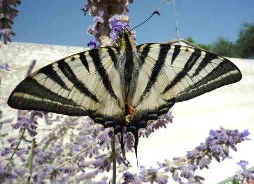 butterfly flower black white