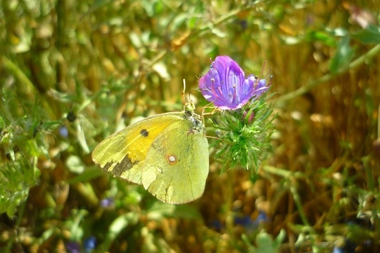 butterfly flower colias