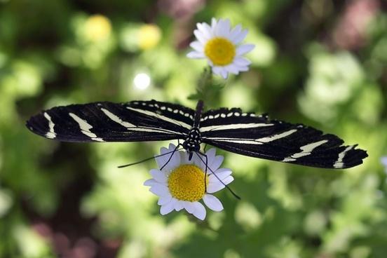 butterfly flowers daisy