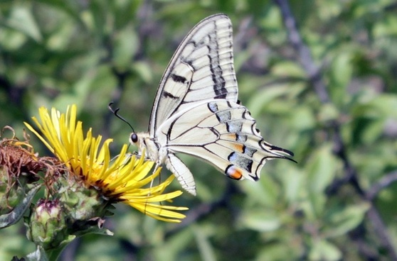butterfly lepidoptera machaon