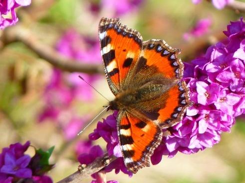 butterfly little fox aglais urticae