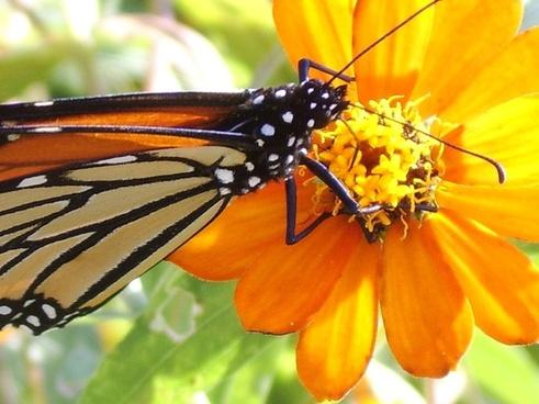 butterfly monarch flower