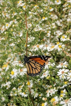 butterfly monarch white