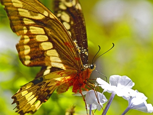 butterfly nectar overloaded