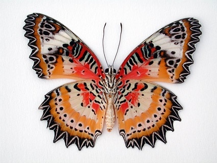 butterfly picture 1