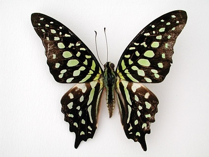 butterfly picture 8