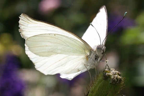butterfly white nature