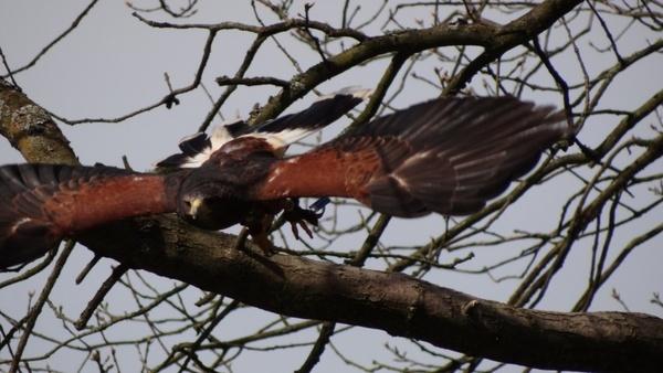 buzzard animal bird