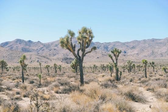 cacti cactus desert dry flora hot landscape mojave