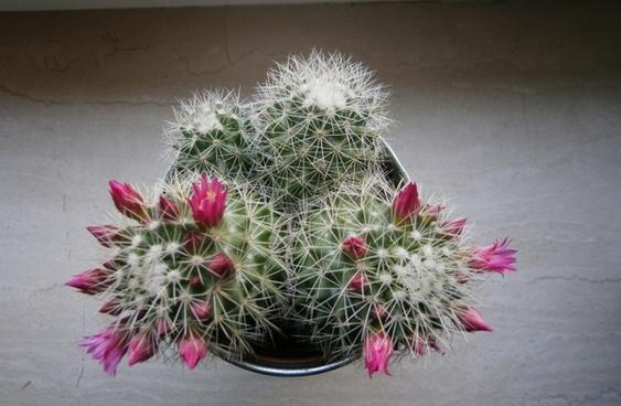 cactus bloom sting
