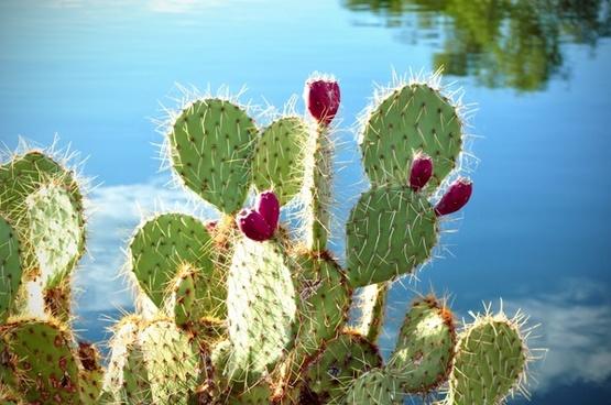 cactus cactus apples prickly pear