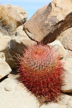 cactus california barrel cactus cactaceae