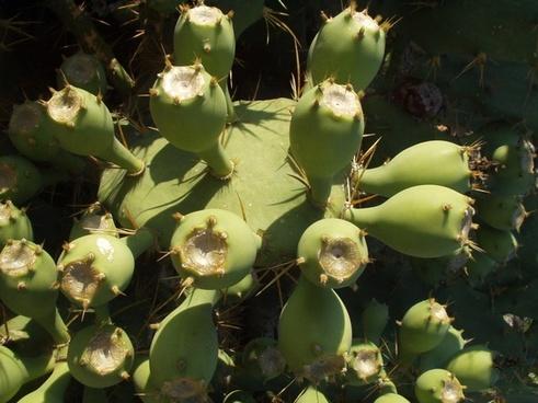 cactus plant katusfeigen