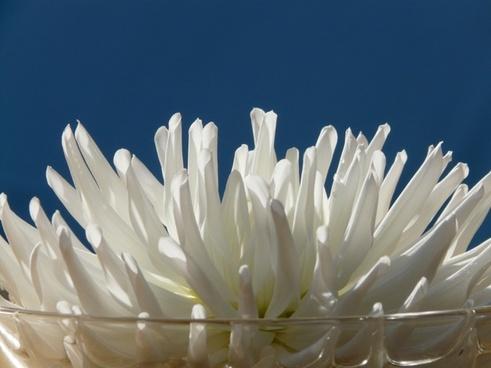 cactus-dahlia dahlia garden dahlia