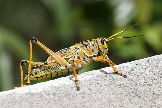 caelifera grasshopper romalea microptera