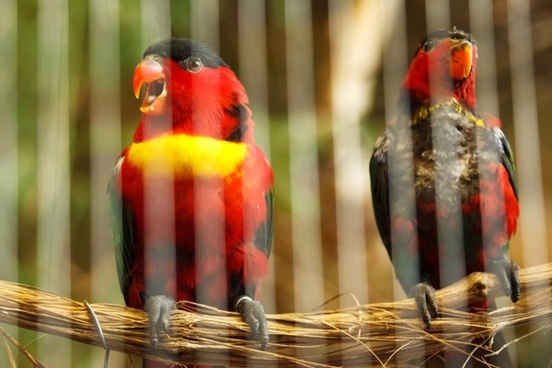 caged parrots
