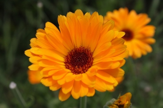 calendula closeup flowers