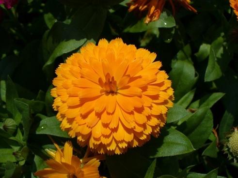 calendula marigold calendula officinalis