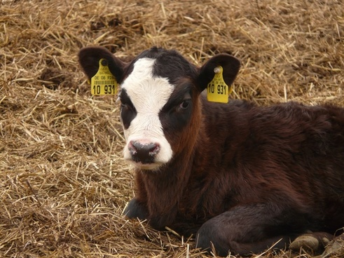 calf cow animal