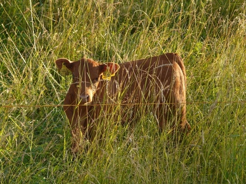 calf cow hidden