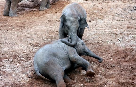 calfs elephant fun