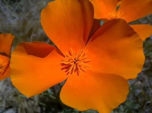 california poppies flower orange