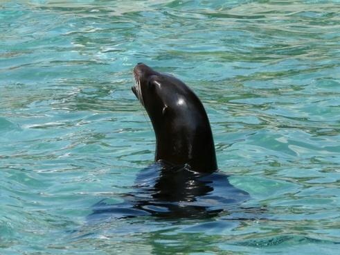 california sea lion sea lion seal pelts
