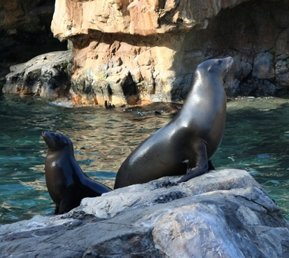 california sealions seals water mammals