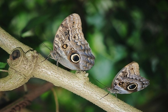 calipo eruriloctuin morpho peleides branch