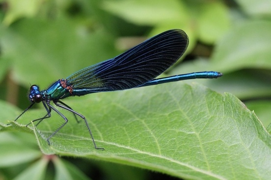 calopteryx splenderns insect dragon fly