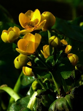 caltha palustris hahnemann foot greenhouse yellow