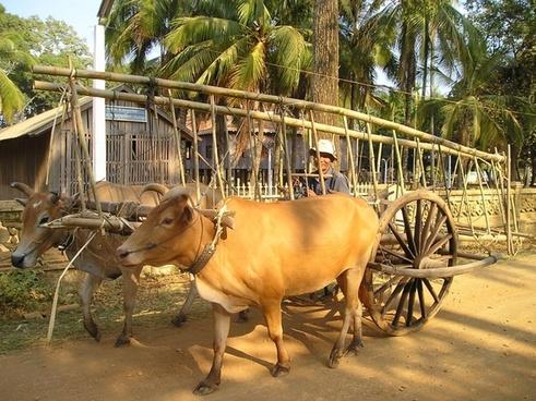 cambodia oxen ox